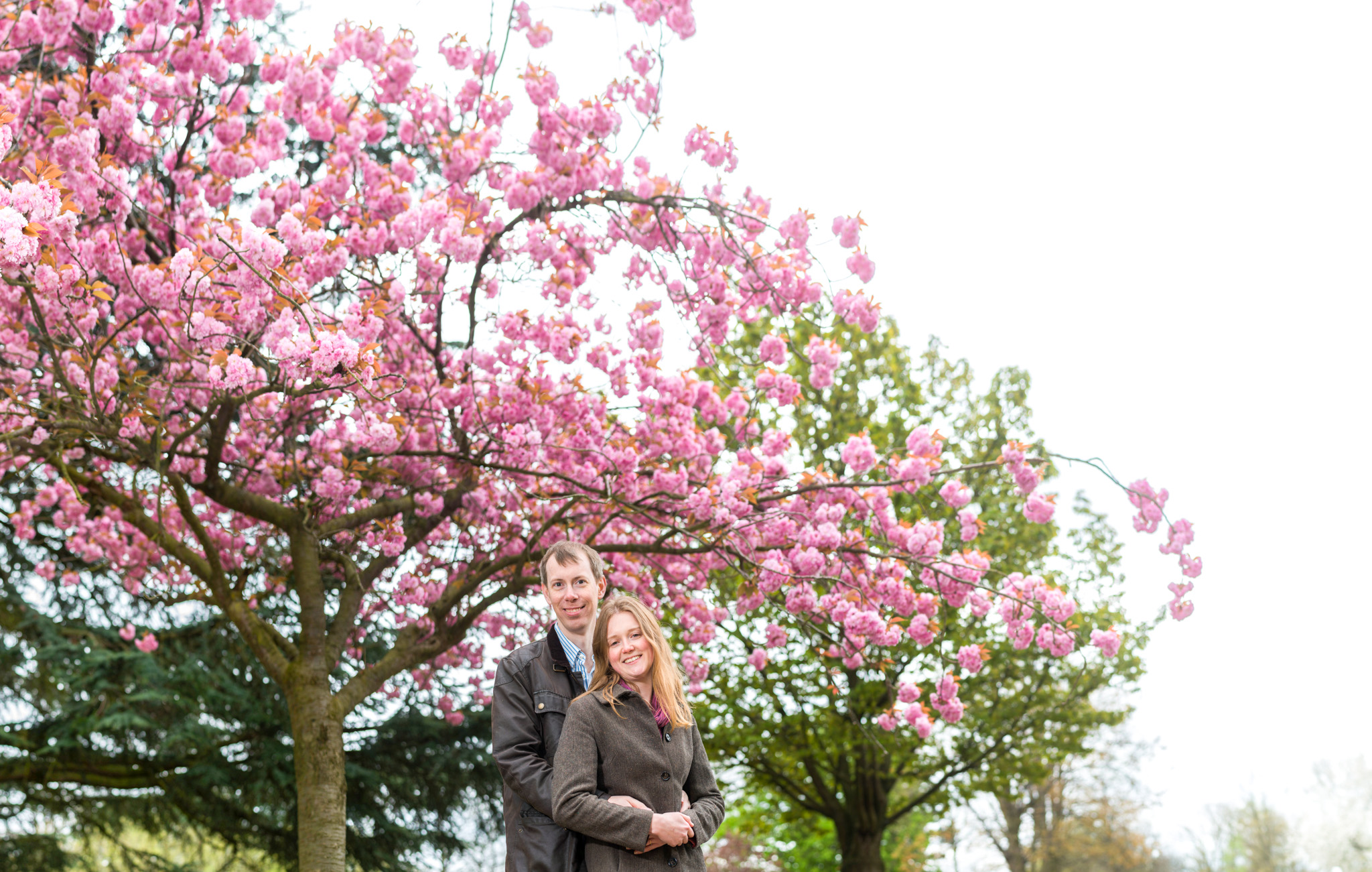 Cherry blossom tree with engaged couple