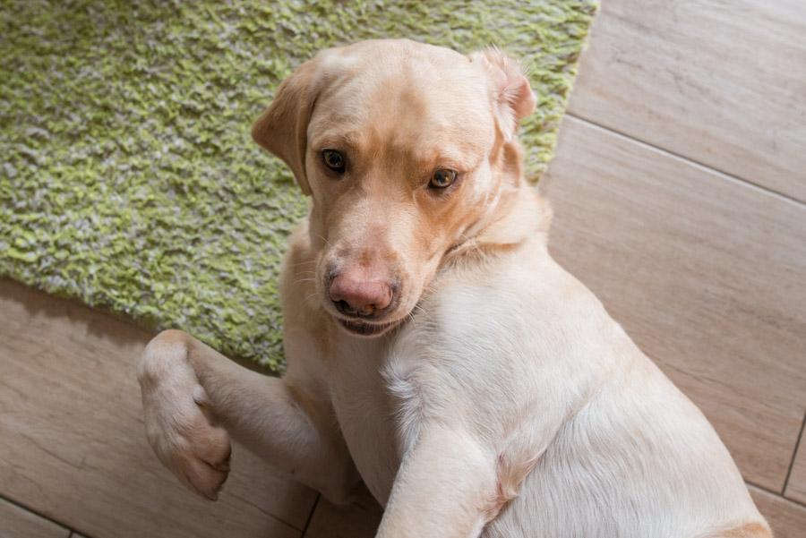 Portrait vom Familienhund